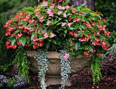 Gardening Container Ingredients: Dragon Wing Begonias, New Guinea Impatiens, 'Silver Falls' Dichondra, Creeping jenny. Light Requirement: Morning sun and afternoon shade Outdoor Garden, Plants, Window Box Plants, Garden, Amazing Flowers, Outdoor Gardens, Begonia, Container Gardening, Garden Containers