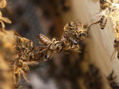 """A lacework of bees hanging together, leg-to-leg, between the frames of comb is called a """"festoon"""" and the behavior is called """"festooning."""" The bees hang in sheets between the frames; sometimes the pattern is as wide and as deep as the frame its [. Honey Bee Facts, Million Flowers, Bee News, Bee Pictures, Real Honey, Worker Bee, Bee Do, Save The Bees, Bee Keeping"""