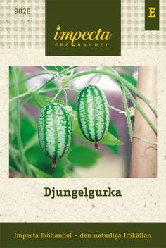 Djungelgurka   Grönsaksväxter   Melothria scabra  