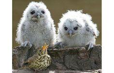 Owls plus one