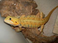 FreshMarine.com - Bearded Citrus Babies Dragon - Pogona vitticeps - Buy Citrus Phase Bearded Dragons Now and Save!