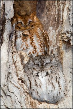 Eastern Screech owls hiding in plain sight
