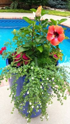 Container garden with hibiscus.