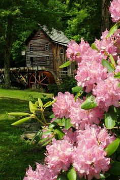 West Virginia State Flower - Rhododendron