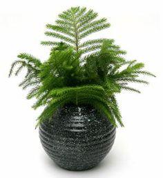 Norfolk Pine in Vase