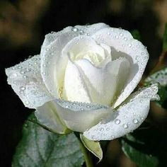 Hybrid Tea white rose. More like this... http://www.allaboutrosegardening.com