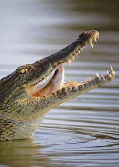 31 Facts About Africa's Nile Crocodile (Crocodylus niloticus) – My CMS Crocodile Eating, Crocodile Eyes, Crocodile Animal, Nile Crocodile, Saltwater Crocodile, Crocodile Pictures, Land Turtles, Swamp Creature, Wildlife Safari