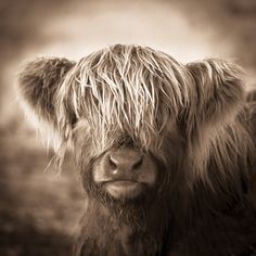 SOLD on Etsy:  Highland Cow Print - Scotland Photography - Baby Animal Matted Print - Scottish…