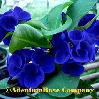 Thai Crown of Thorns Plants | AdeniumRose Company adenium plants growing and new hybrids | Adenium ...