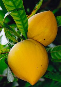 Yellow Sapote