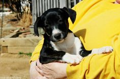 Meet Toby a Petfinder adoptable Jack Russell Terrier Dog | Darlington, MD | Toby is the most timid of the bunch and the smallest.  He is curious, sweet and eager to please....