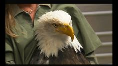 A bald eagle named Beauty gets a new beak after being shot in the nose.