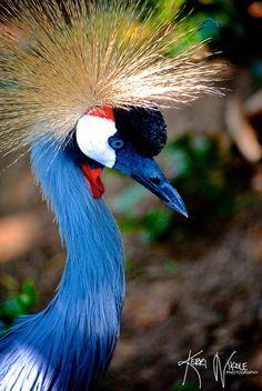 African Crowned Crane - ©/cc Kerri Nikole Photography - www.flickr.com/photos/kerrinikolephotography/8587007211/