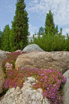 Piha - harmaa-ajuruoho Garden flowers