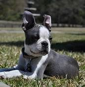 lilac boston terrier - Bing Images