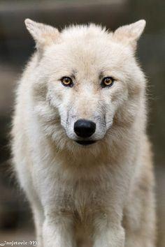 Polar Wolf (Canis lupus arctos) - Arctic Wolf
