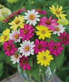 I love these zinnias,  Raspberry Lemonade Mix Burpee Seeds