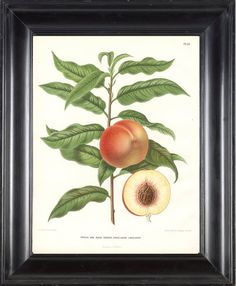 BOTANICAL FRUIT PRINT Wendel 8x10 Art 16 Beautiful by LoveThePrint