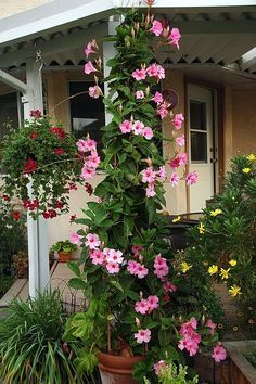 I already have this growing in my front yard...loves full sun...lets cross our finger that it will wrap aroun pergola posts in the backyard!