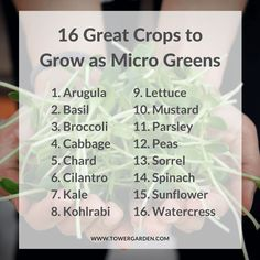 Micro Greens: How to Quickly and Easily Grow Your Own – Microgreens growing indoor Growing Sprouts, Growing Microgreens, Growing Herbs, Growing Vegetables, Growing Gardens, Gardening Vegetables, Hydroponic Gardening, Organic Gardening, Gardening Tips