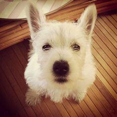 My Westie Puppy, Sneaks <3