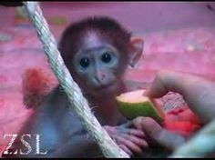 Baby Monkey - Conchita