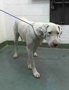 """((URGENT_HIGH KILL SHELTER)) """"LOLA"""" (A1688042) I am a female white and tan Pointer mix. The shelter staff think I am about 1 year old. I was found as a stray and I may be available for adoption on 03/31/2015. — hier: Miami Dade County Animal Services. https://www.facebook.com/urgentdogsofmiami/photos/pb.191859757515102.-2207520000.1427396493./950977154936688/?type=3&theater new pic…"""