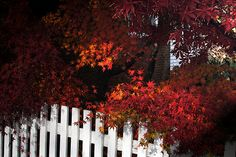 A White Fence wearing a beautiful Japanese Maple like a luxurious scarf  www.whitefence.com