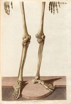 Plate A lower half from Christoph Jacob Trew's Tabulae osteologicae