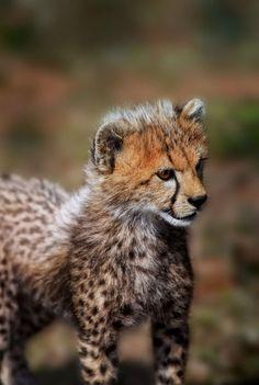 Africa | Cheetah cub.  Masai Mara, Kenya | © Danita Delimont