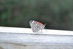 Crazy 88 Butterfly