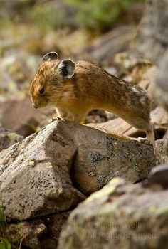 """Fun Friday: """"You Tourists are Boring Me!"""" Pika on rock, finishing his """"yawn"""" on Crater Lake Trail, in Colorado's Maroon Bells area l Show Me Nature Photography"""