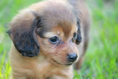 Long Haired Chiweenie Chiweenie Puppies for Sale in PA