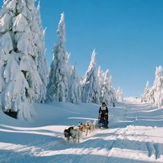 Husky rides in the winter