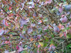 Purple of Berberis atropurpurea fades, Nov 12.