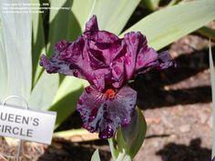 Iris ib Sangria