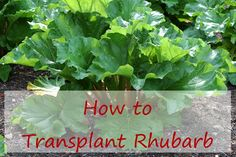 How to Transplant Rhubarb. Rhubarb isn't fussy and you don't need to be when you dig it up and drop it in a new place.