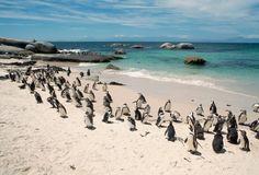 El pingüino africano en Boulders Beach, Simon's Town, Sudáfrica