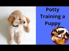 How to Stop Your Puppy from Peeing in the House Puppy Toilet Training, Puppy Training Tips, Potty Training, House Breaking A Puppy, Puppy Stages, Animal Categories, Puppy House, Make A Donation, New Puppy