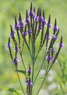 Verbena hastata - Blue Vervain: Available at Prairie Moon Nursery Colorful Flowers, Blue Flowers, Wild Flowers, Beautiful Flowers, Drought Resistant Plants, Moon Nursery, Peat Moss, Herbaceous Perennials, All Plants