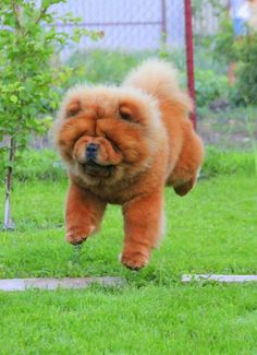 Chow chow #tierno ♥