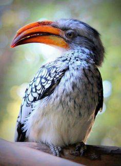 Le Calao leucomèle est une espèce africaine d'oiseau appartenant à la famille des Bucerotidae.