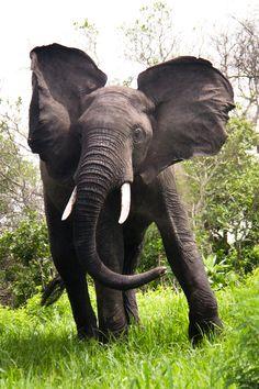 An elephant from Katavi national park in Tanzania