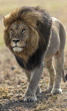 Photogenic lion strikes a pose on the Serengeti | Daily Mail Online #BigCatFamily