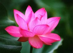 Flor de Loto - Lotus Flower - the lotus is known to be associated with purity, spiritual awakening and faithfulness. The flower is considered pure as it is able to emerge from murky waters in the morning and be perfectly clean. -- In Hinduism the lotus flower meaning is associated with beauty, fertility, prosperity, spirituality, and eternity.