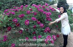 Give a big hug to my lovely peonies!  Generally, a rockii peony tree can blossom more than hundreds of peony flowers.
