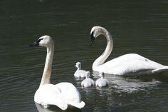 Baby Swan | Swan Reintroduction | Blackfoot Valley Adopt-a-Swan