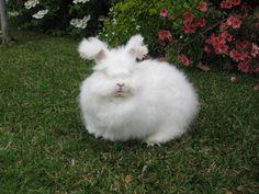 German Angora Rabbit Care