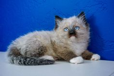 Ragdoll Kitten for Sale Near Me. We Have Outstanding Variety of Loving Ragdoll Kittens For Sale. Newborn Ragdoll Kittens and Adult Cats Ragamuffin Kittens, Fluffy Kittens, Baby Kittens, Kittens Cutest, Cats And Kittens, Ragdoll Cats For Sale, Kitten For Sale, Blue Point Ragdoll, Ragdoll Cattery