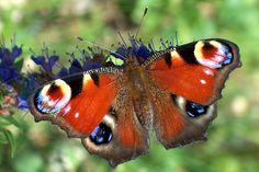 SCHMETTERLING | BUND: Schmetterling des Jahres 2009: Tagpfauenauge